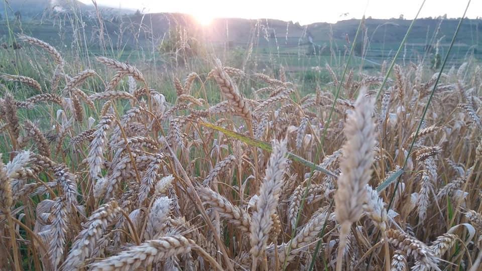 Приноси пшенице око 2,3 тоне по хектару
